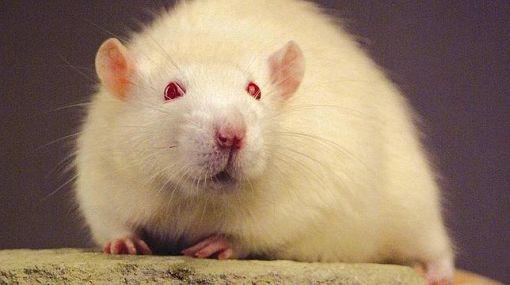 Científicos crean rata 'cyborg' con cerebelo artificial