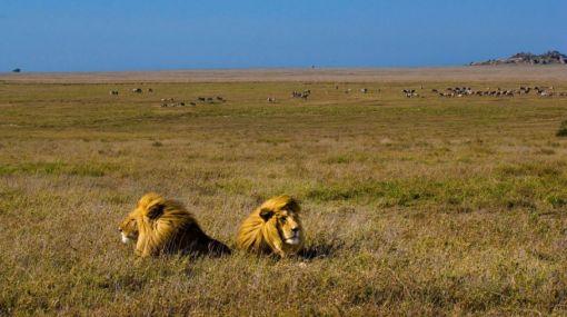 África: ecosistema Serengueti amenazado por construcción de carretera
