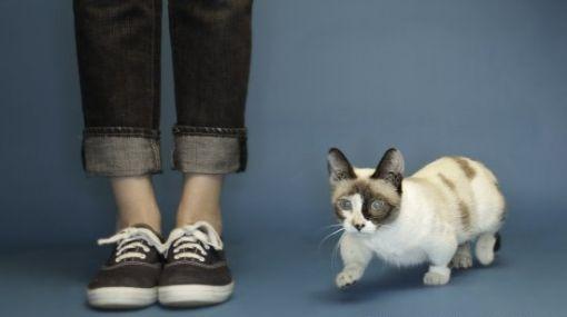 Fizz Girl, el gato con las patas más cortas del planeta