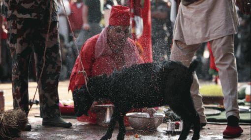 Sacrifican animales por creencia religiosa en Nepal