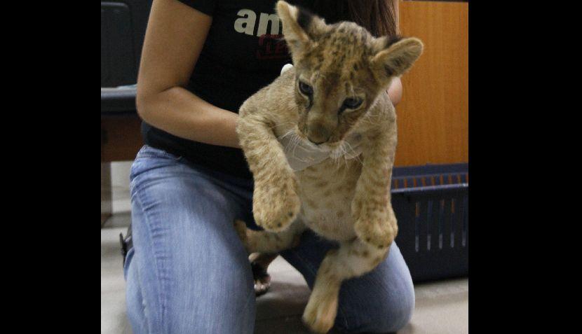 FOTOS: este cachorro de león fue rescatado en el Líbano, un Arca de Noé de animales de contrabando