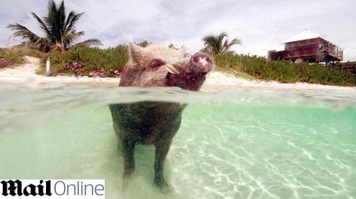 Babe, el cerdo que vive en su 'isla privada' en las Bahamas