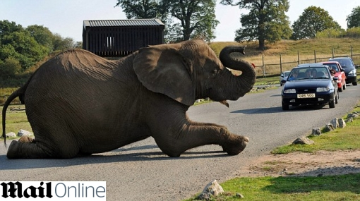 Inglaterra: elefante se quedó dormido en medio de una carretera