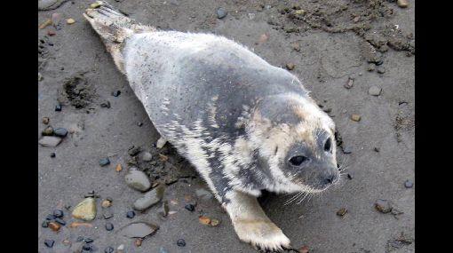Misteriosa enfermedad mata a decenas de focas en Alaska