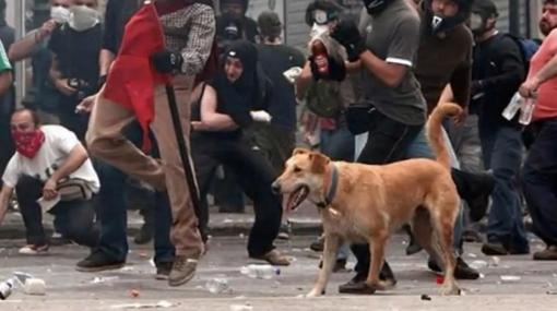 Loukanikos, el perro antisistema que asiste a protestas en Grecia