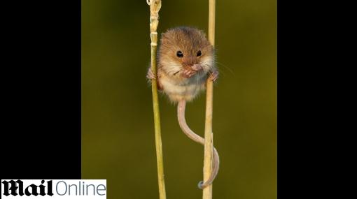 Un pequeño roedor utiliza su cola como una quinta extremidad