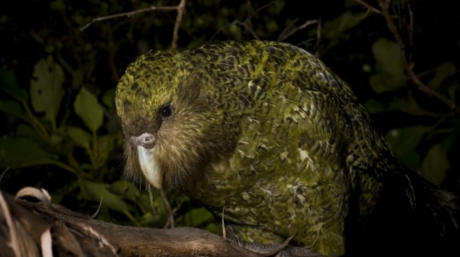El kakapo, el único loro que no puede volar y llega a los 120 años de edad