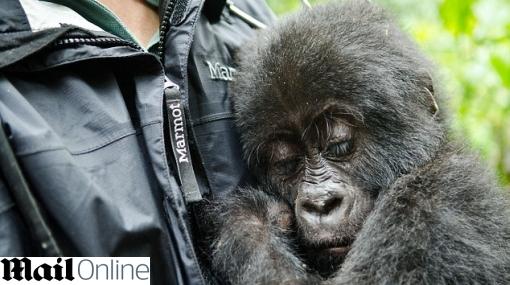 Bebe gorila fue rescatado de las manos de cazadores en el Congo
