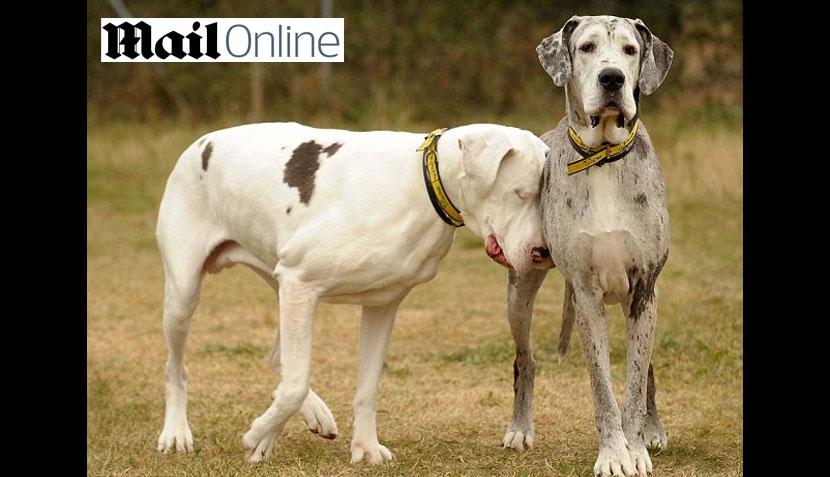 FOTOS: la tierna historia de Lily, una gran danés ciega que tiene una perra guía