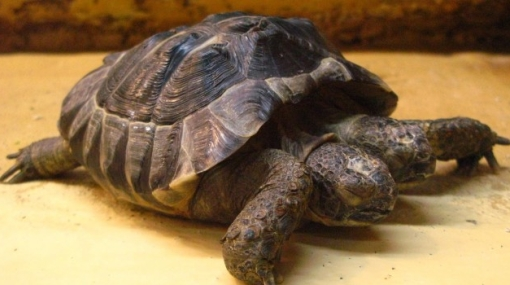 """La tortuga con dos cabezas """"Janus"""" se exhibe en museo de Suiza"""