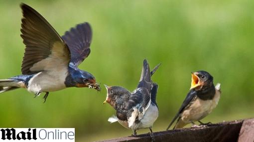FOTOS: tiernas imágenes de una golondrina alimentando a su cría