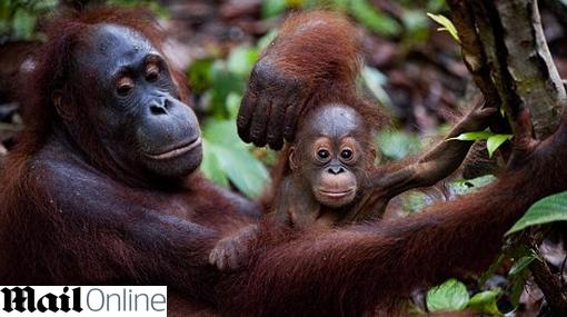 Orangutanes aprenden habilidades y las transmiten de generación en generación