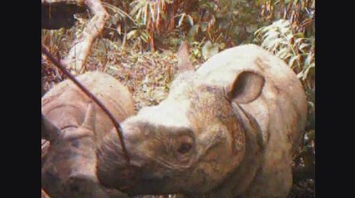 ¿Peligro de extinción? Existen pocos rinocerontes de Java hembras en Indonesia