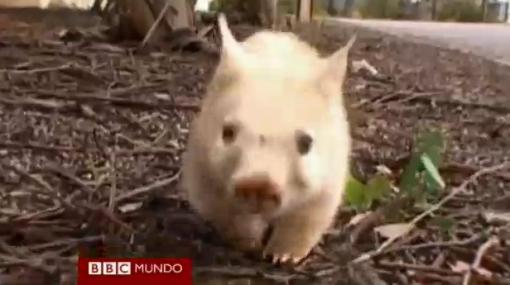 Encuentran raro marsupial albino en Australia