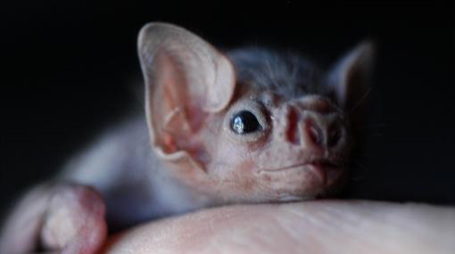 El 20% de murciélagos puede desaparecer pese a su importancia