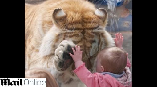 FOTOS: tigre de Bengala jugó con bebe en zoológico de EE.UU.
