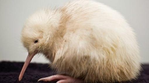 Único kiwi blanco del planeta fue sometido a una cirugía láser