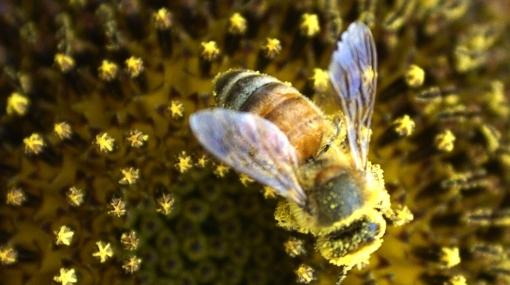 Nueva especie de abejas confirma que istmo de Panamá unió América mucho antes
