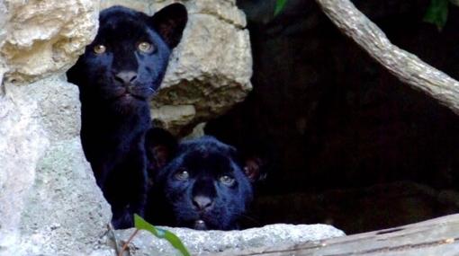 El nacimiento de estos dos jaguares negros ayudará a preservar la especie