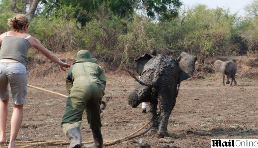FOTOS: dramático rescate de un elefante bebe y su madre en Zambia