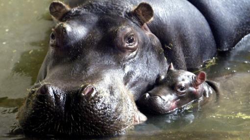 Murieron más de 80 hipopótamos por ántrax en Zimbabwe