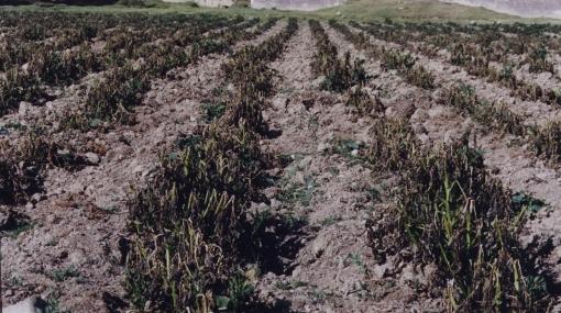 FAO: necesitamos proteger los cultivos de los alimentos tradicionales