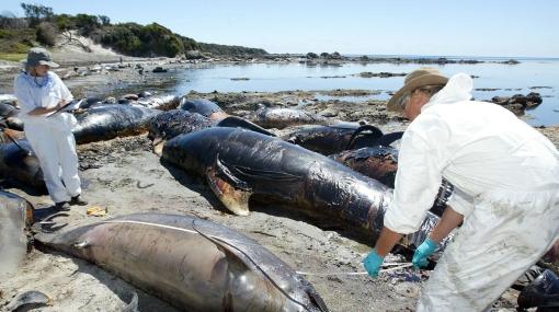 Mueren 31 ballenas piloto tras quedar varadas en Nueva Zelanda