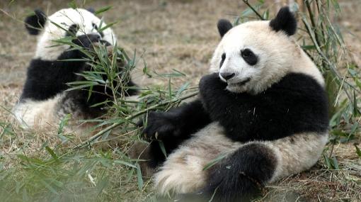 El Reino Unido volverá a tener osos panda después de 17 años