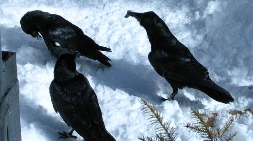 Los cuervos utilizan su pico y alas para comunicarse entre ellos