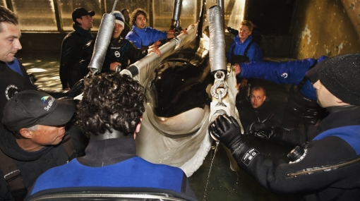 La orca Morgan llegó a su nuevo hogar en España