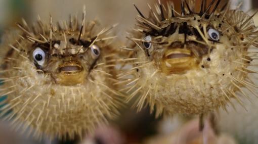 Denuncian a restaurante con dos estrellas Michelin por servir pez globo tóxico