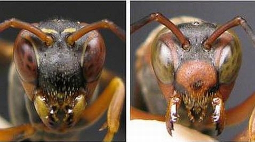 Las avispas se reconocen por el rostro al igual que los humanos