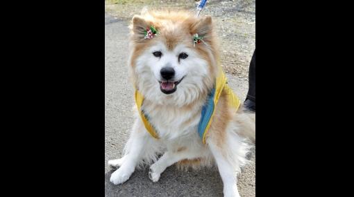 El perro más longevo del mundo murió a los 26 años en Japón