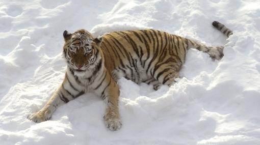 Zoológico de China usa nieve artificial para sus tigres siberianos