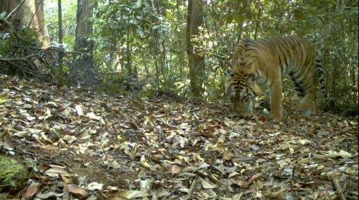 WWF acusa a poderosa compañía indonesia de destruir hábitat de tigre de Sumatra