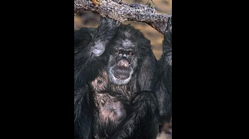 El chimpancé fumador Booie murió a los 44 años en EE.UU.