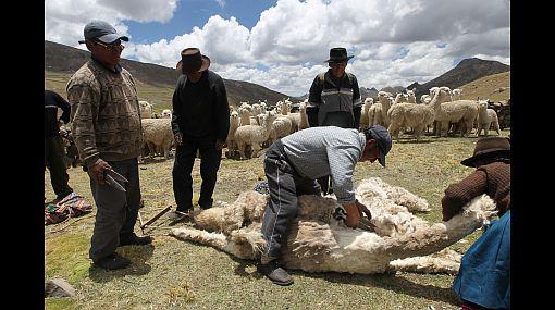 Precios de prendas de alpaca caerían 15%