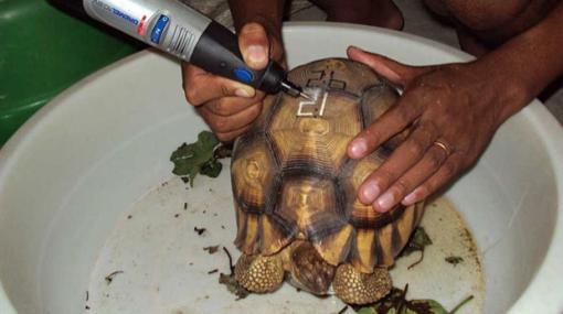 Exóticas tortugas son tatuadas para evitar su tráfico ilegal