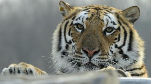 Matan a una tigresa que se había escapado de un zoológico en China
