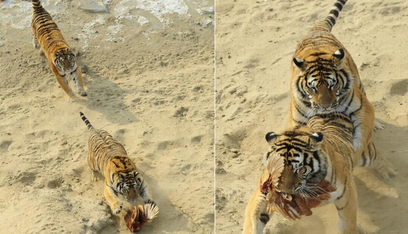 Tigres siberianos compiten por su presa en parque forestal de China