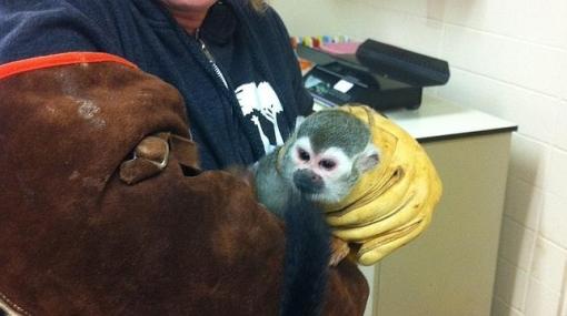 Hallan a mono ardilla que fue robado del zoológico de San Francisco