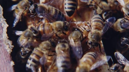La Libertad: abejas atacaron a pobladores del distrito de Paiján