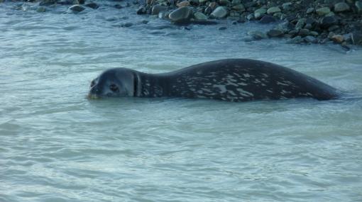 La desaparición del hielo en el Ártico pone en jaque a las focas