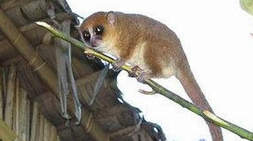 Una nueva especie de lémur fue descubierta en Madagascar