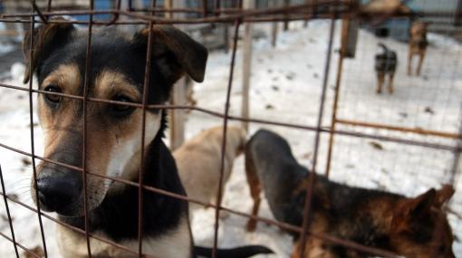 Vietnamitas sacrifican perros para comérselos en guisos