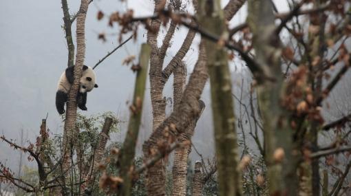 China liberó a seis osos pandas gigantes en su hábitat natural