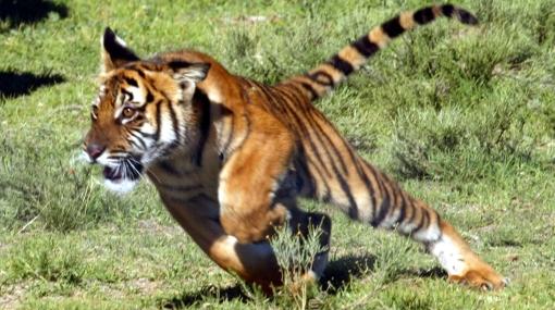 La India creó fuerzas especiales para proteger a los tigres