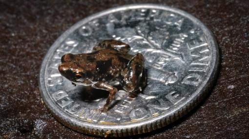 Una rana de 7,7 mm es el vertebrado más pequeño del planeta