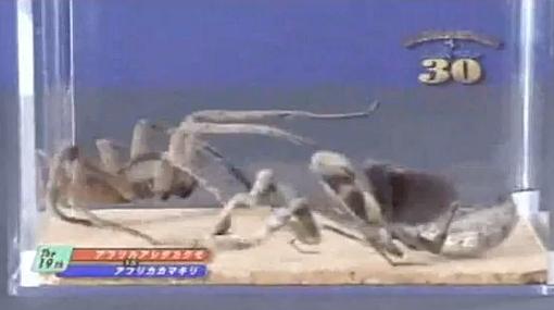 Peleas de insectos o 'Bug fights' son televisadas en Japón