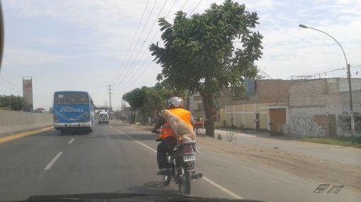 Conductor de moto llevaba a su perro en parte trasera sin seguridad
